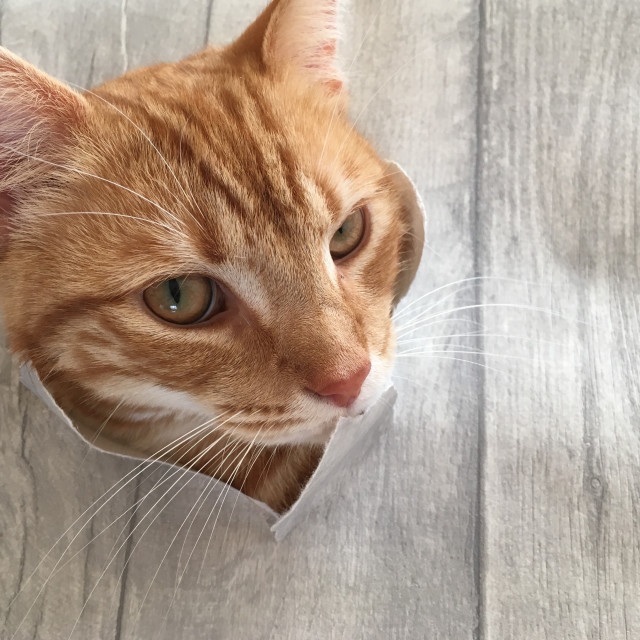 """Cute ginger tabby cat"" stock image"