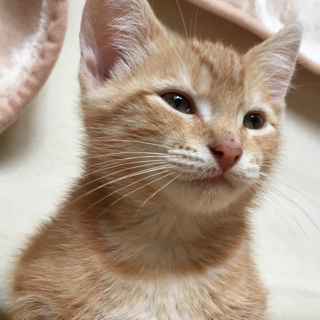 """Cute ginger tabby cat kitten"" stock image"