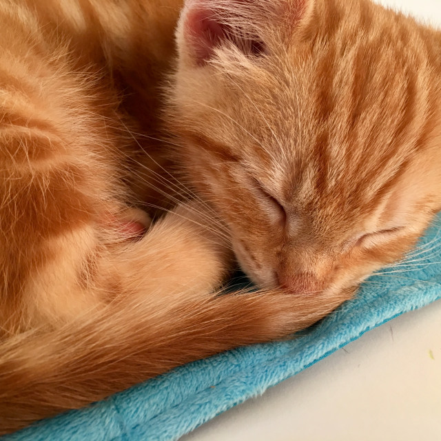 """Cute ginger tabby cat kitten sleeping"" stock image"