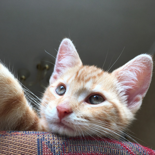 """Ginger tabby cat kitten"" stock image"