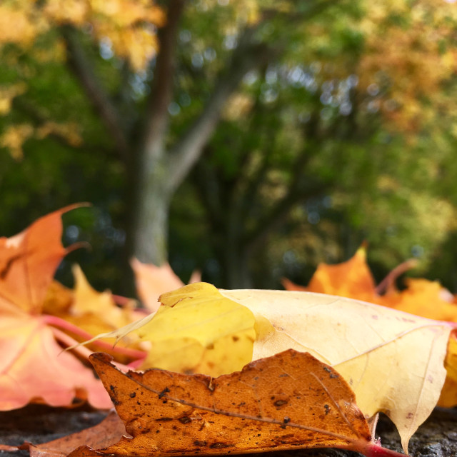 """""""Fallen autumnal leaves"""" stock image"""