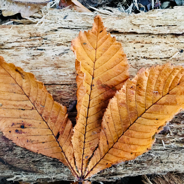"""""""Dried Autumnal leaf"""" stock image"""