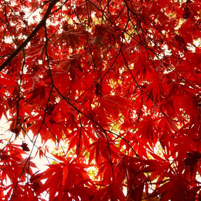 """Sun shining through autumnal coloured leaves"" stock image"