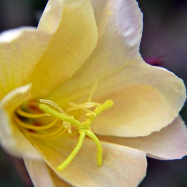 """Evening Primrose Flower"" stock image"