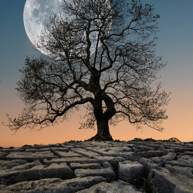 """Moon Rising behind Tree"" stock image"