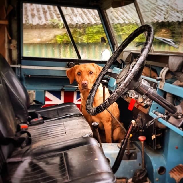 """""""Golden Labrador in a Vintage Land Rover Defender"""" stock image"""