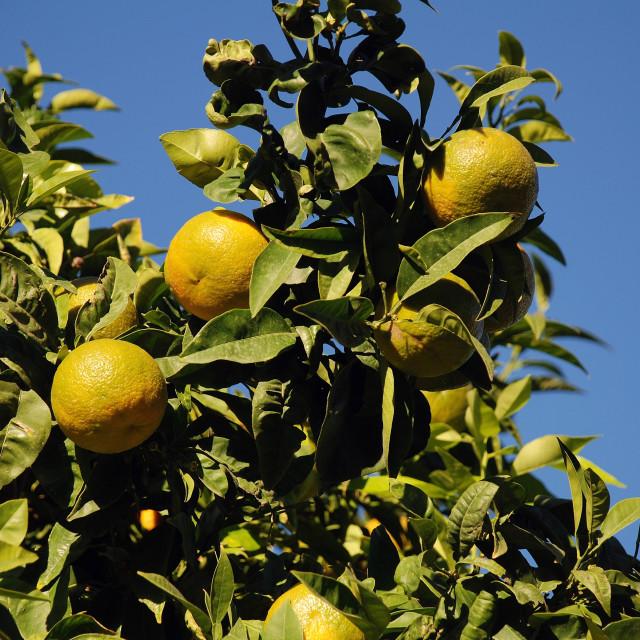 """Green lemons, Majorca"" stock image"