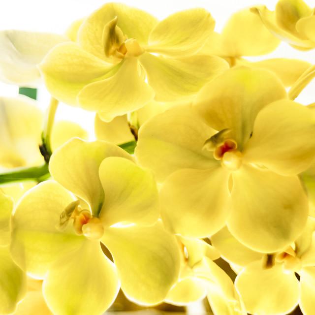"""Orquídea amarela"" stock image"