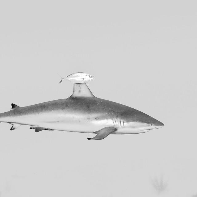 """""""Tubarão"""" stock image"""