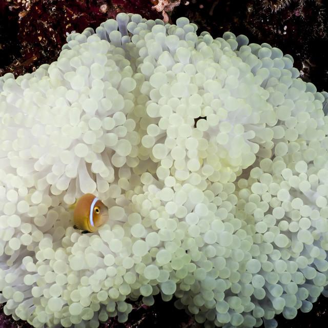 """Nemo em uma anêmona branca"" stock image"