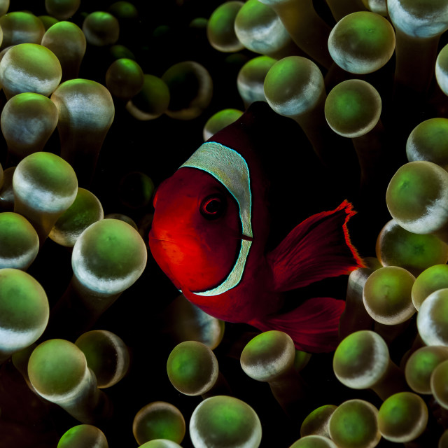 """Nemo em sua anêmona"" stock image"