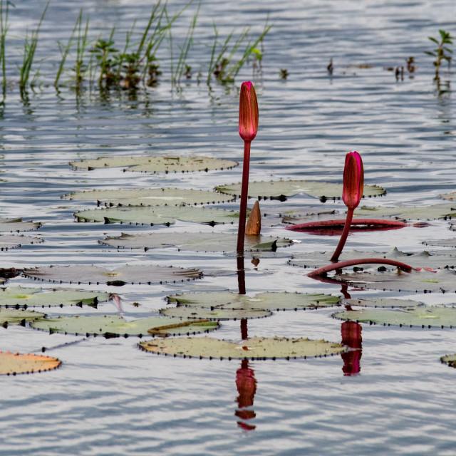 """Water Lilies, Neak Poan Temple"" stock image"