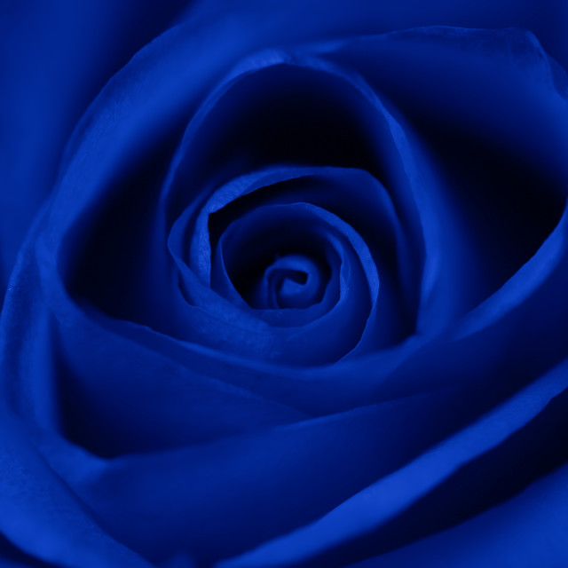 """Rose flower in blue as background"" stock image"