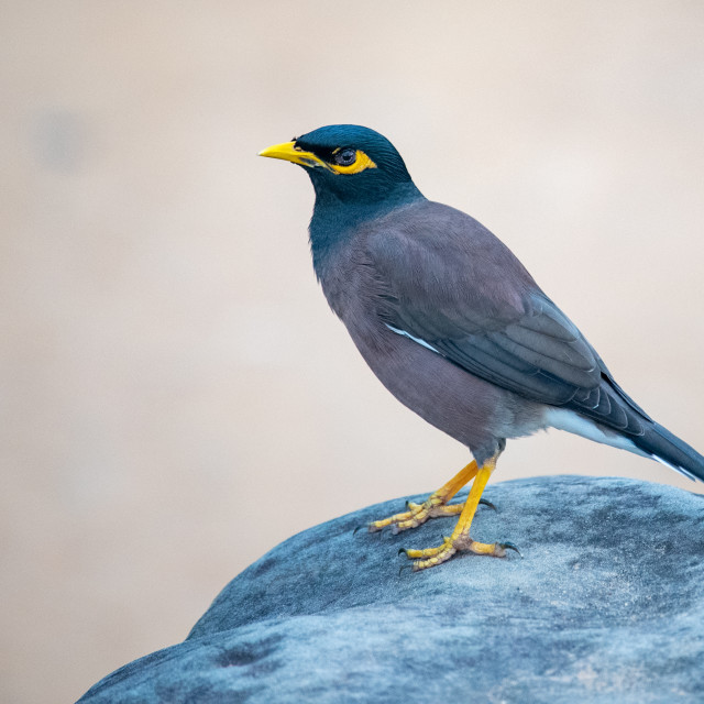 """Mynah Bird"" stock image"