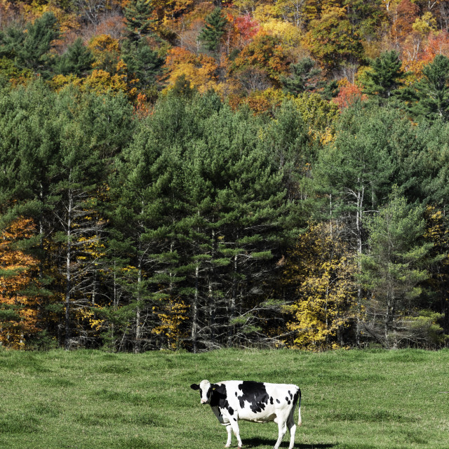"""""""Cow grazing in lush pasture"""" stock image"""
