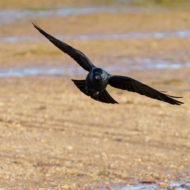"""""""Jackdaw (Corvus monedula) in flight, taken in the UK"""" stock image"""
