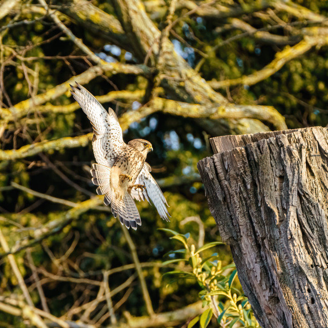 """Common Kestrel (Falco tinnunculus) flying towards a tree stump to land, taken..."" stock image"