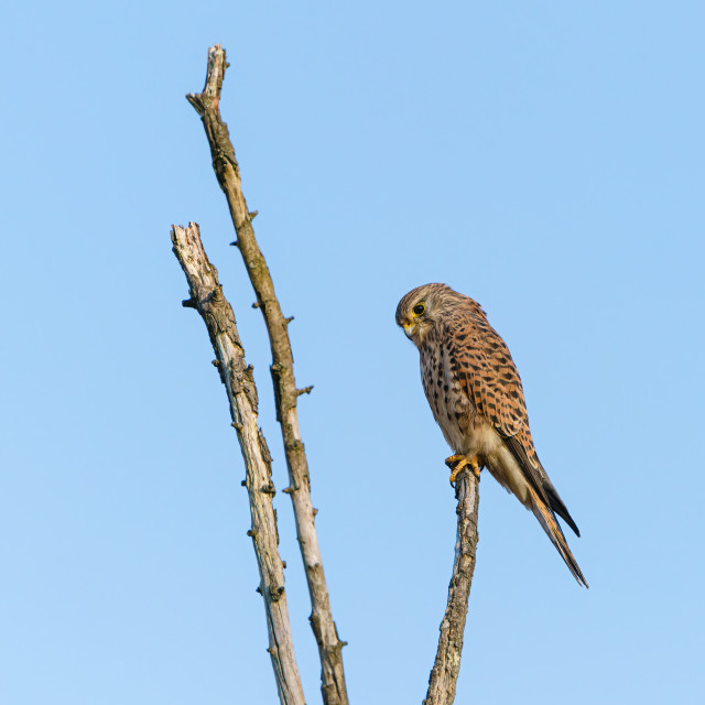 """Common Kestrel (Falco tinnunculus) perched atop a thin dead tree trunk, in..."" stock image"