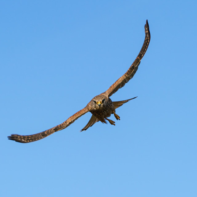 """Common Kestrel (Falco tinnunculus) with wings spread, flying at the camera,..."" stock image"