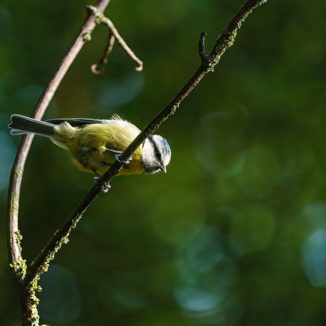 """""""Blue Tit (Cyanistes caeruleus) on a twig looking down, taken in the UK"""" stock image"""
