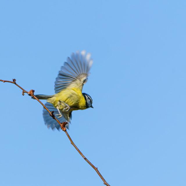 """""""Blue Tit (Cyanistes caeruleus) taking off, taken in the UK"""" stock image"""