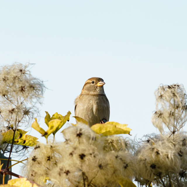 """""""House sparrow (Passer domesticus) perched among seeds of a bush, taken in the UK"""" stock image"""