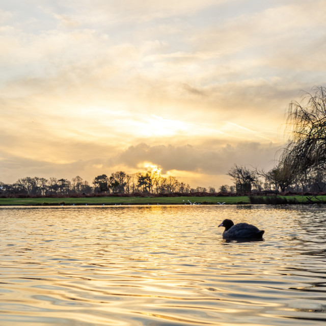 """""""Coot (Fulica atra) on a pond at sunrise in winter, taken in the UK"""" stock image"""