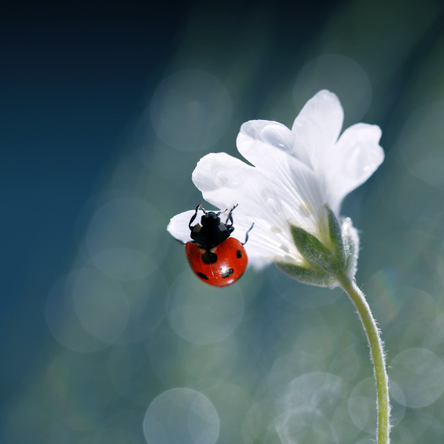 """A little red ladybug from my garden"" stock image"