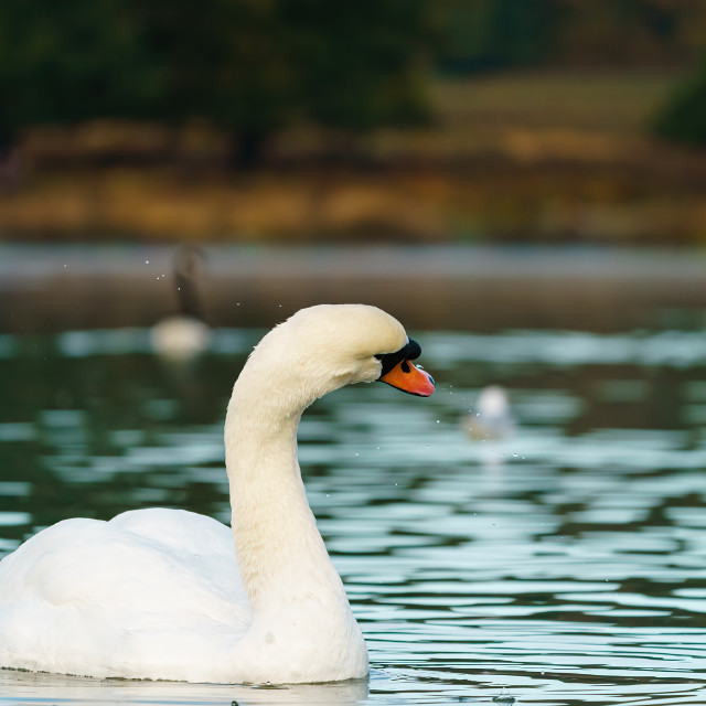 """Mute swan (Cygnus olor) shaking water from itself, taken in the UK"" stock image"