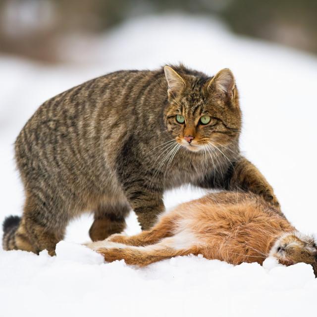 """European wildcat, felis silvestris, with a kill of dead rabbit"" stock image"