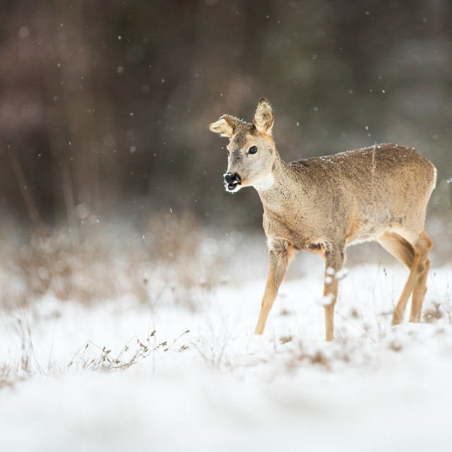 """Female roe deer with broken ear on a meadow in snowfall in wintertime"" stock image"