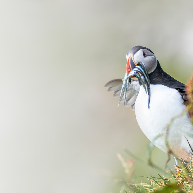 """North Atlantic ocean puffins at Faroe island Mykines, late summe"" stock image"