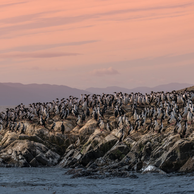 """Colony of king cormorants Beagle Channel, Patagonia"" stock image"