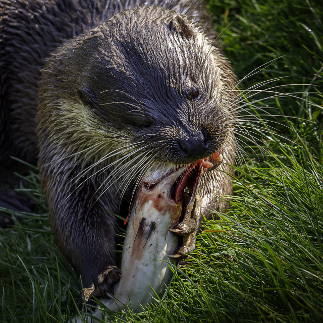 """Otterly Delicious"" stock image"