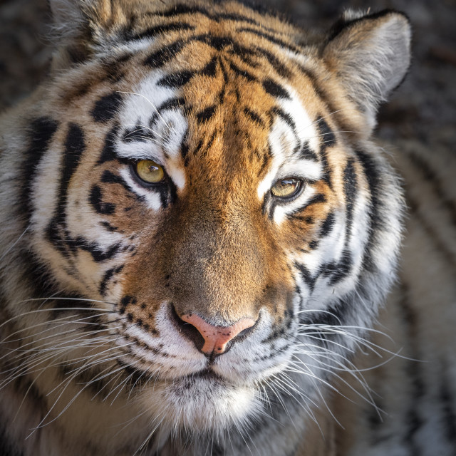"""Female Amur (Siberian) tiger (close-up)"" stock image"