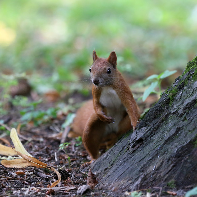 """""""Adorable squirrel animal in the city park"""" stock image"""