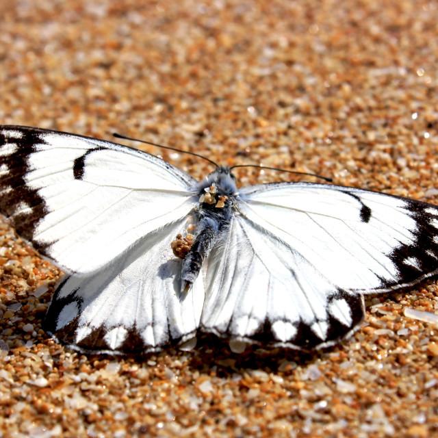 """""""The velvet butterfly"""" stock image"""