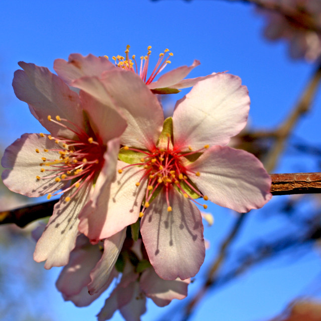 """""""Pink Blossom"""" stock image"""