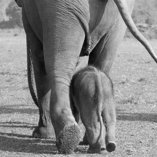 """""""A female elephant with her baby going for a walk at the Elephant"""" stock image"""