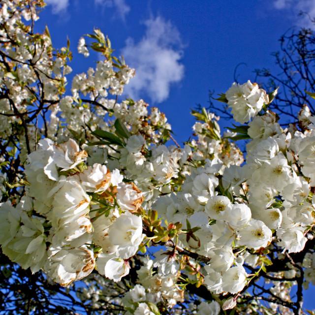 """White Blossoms"" stock image"