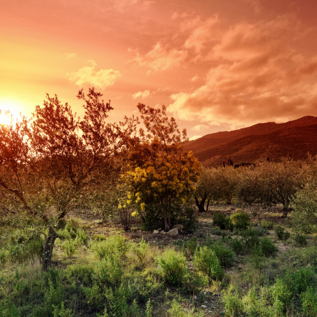 """""""Olive groves"""" stock image"""