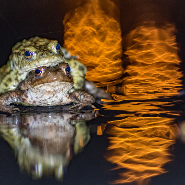 """frog,common toad (bufobufo) in nature in Belgium migration (dutch :paddentrek)"" stock image"