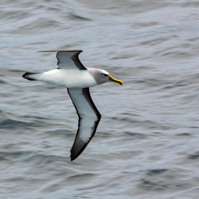 """""""Buller's Albatross (Thalassarche [bulleri] bulleri)"""" stock image"""