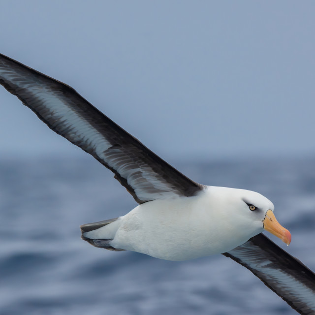 """Campbell Albatross (Thalassarche impavida)"" stock image"