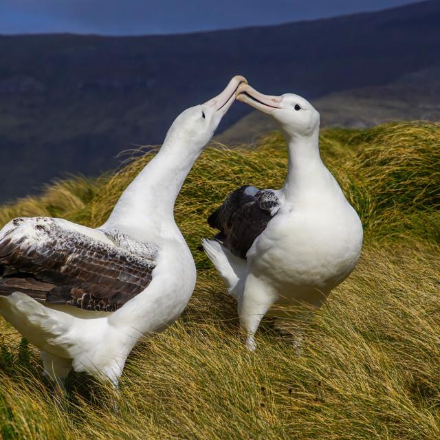"""Southern Royal Albatross (Diomedea epomorphora)"" stock image"