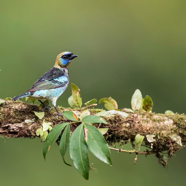 """""""Golden hooded tanager photographed in Costa Rica"""" stock image"""