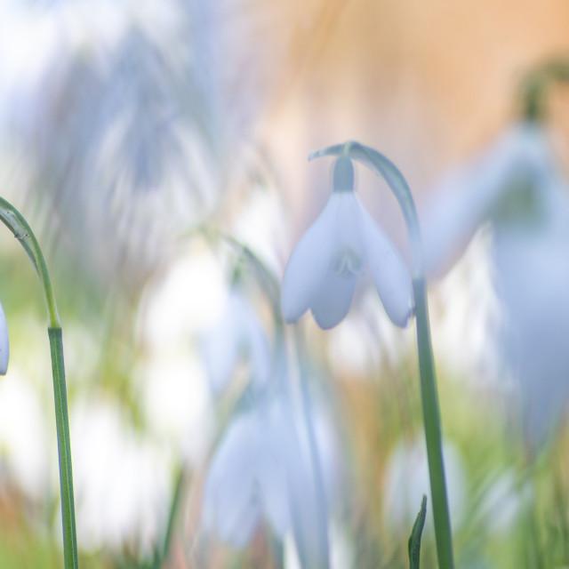 """Snowdrop flower galanthus nivalis"" stock image"