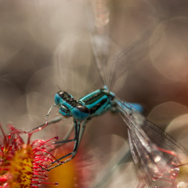 """Sundew,drosera intermedia is feeding dragonfly"" stock image"