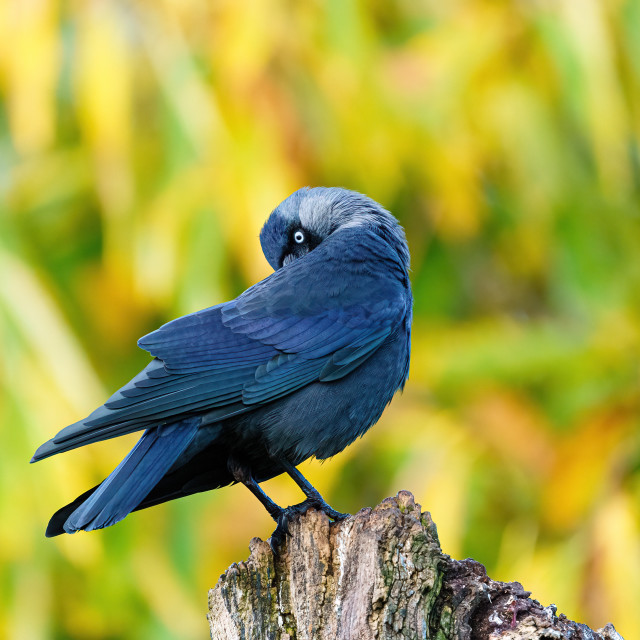 """Jackdaw (Corvus monedula) preening itself, taken in the UK"" stock image"