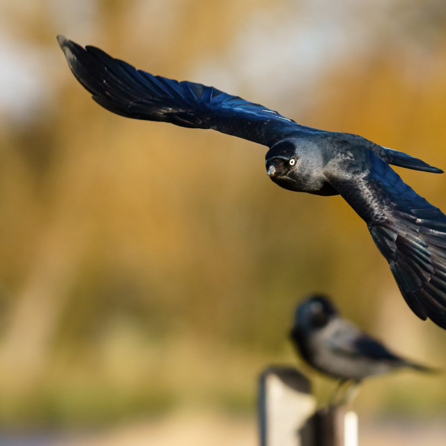 """Jackdaw (Corvus monedula) flying towards camera, taken in the UK"" stock image"